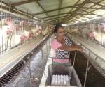 granja pollos